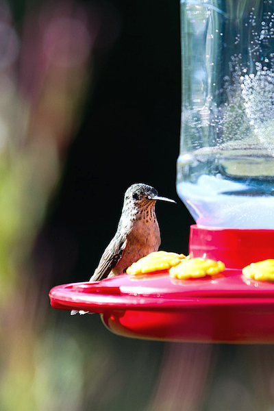 Homemade-Hummingbird-Food